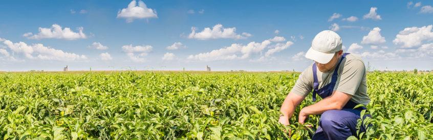 A farmer inspecting his cash crops