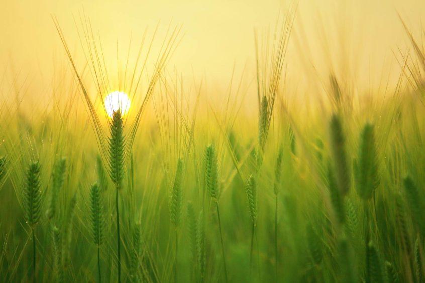 Ontario wheat field at sunset