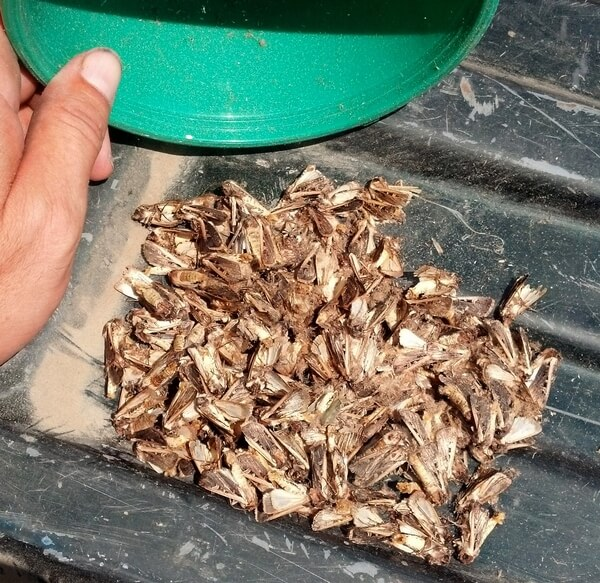 Adult western bean cutworm moths from pheromone trap
