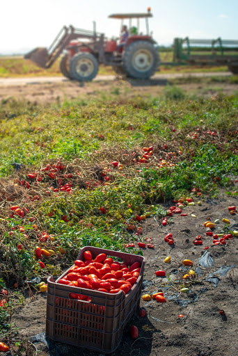 """Featured image for """"Great news for Ontario tomato farmers!"""""""